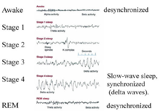 sleep brainwaves