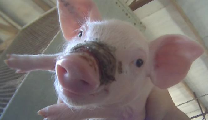 Source: http://cdn.inquisitr.com/wp-content/uploads/2014/08/West-Coast-Farms-Pigs-665x385.png